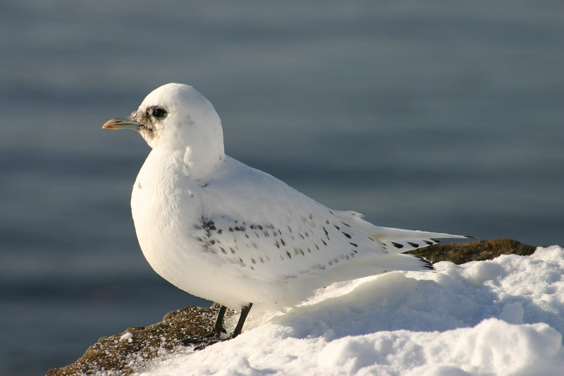 Ivory Gull - February 1st