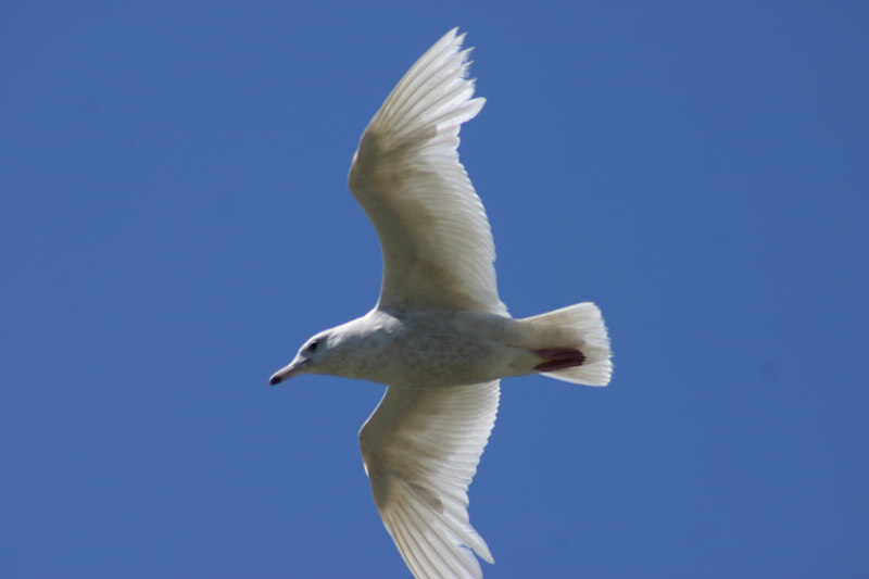 Glaucous Gull - May 25th