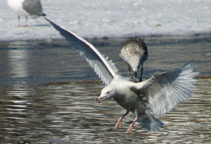 Glaucous Gull - March 30th