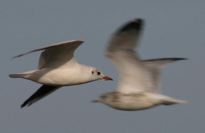 Black-headed Gull - September 12th
