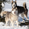 Saturday was sled dog day at Gunflint Lodge. Four teams of dogsleds were brought in for rides