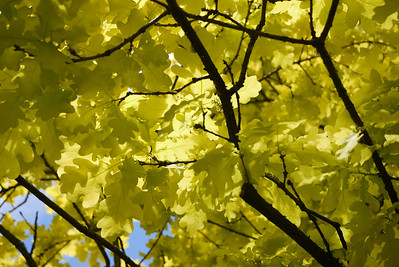 Blue skies and a gorgeous yellow tree in full spring bloom at Seattle's aboretum!