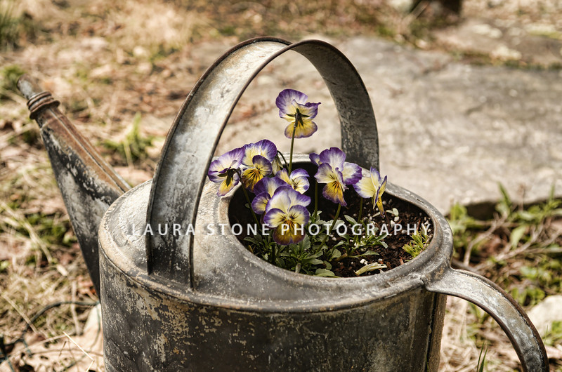 Pansies in an old watering can