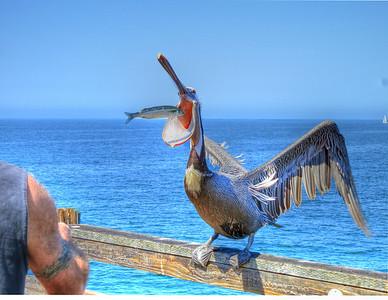 Man feeds bird! Lunch on the Oceanside Pier - Yum!