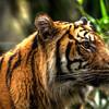HDR: Tiger, Taronga zoo, Sydney, Australia.