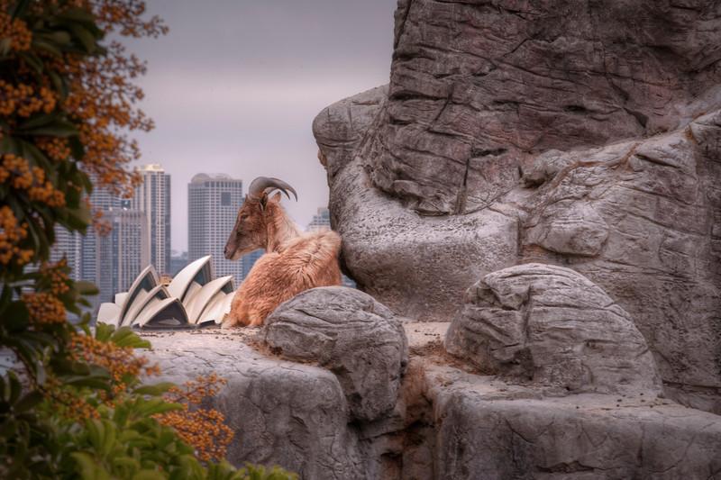 Ram with a View. Taronga Zoo, Sydney, Australia - HDR.