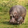 HDR: Hippos, Kazinga Channel, Uganda.