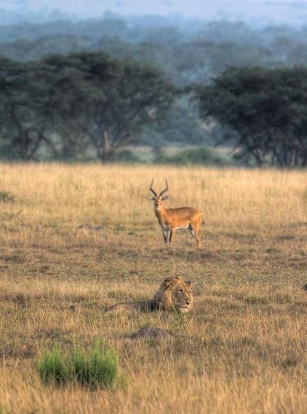 HDR: Lion and very observant kob, Uganda.