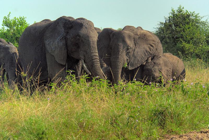 HDR: Elephants, Uganda.