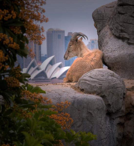 Ram with a View. Taronga Zoo, Sydney, Australia HDR.