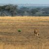 HDR: Lion, Uganda.