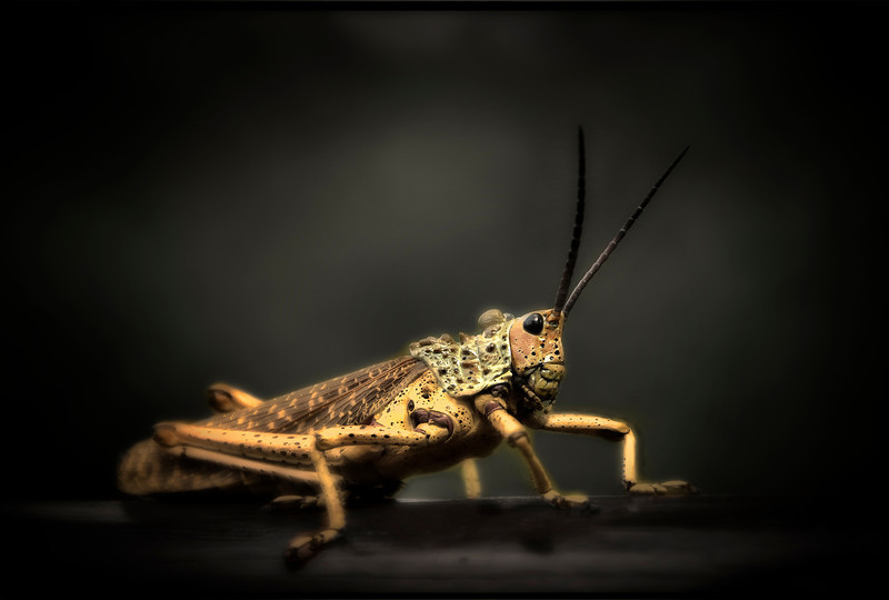 Grasshopper, South Africa - HDR.