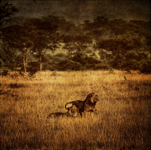 Texturized single RAW HDR: Lions in the Ishasha wilderness, Uganda.