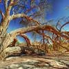 Tree, Sossusvlei, Namibia - HDR.