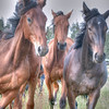 Horses, rural Finland.