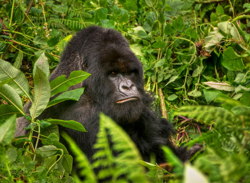 This endangered silverback mountain gorilla lives in Parc National des Volcans, Rwanda - HDR.