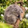 HDR: Koala, Australia.