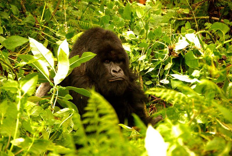 Gorilla, Parc National des Volcans, Rwanda.