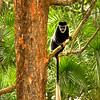 HDR: Colobus monkey, Uganda.