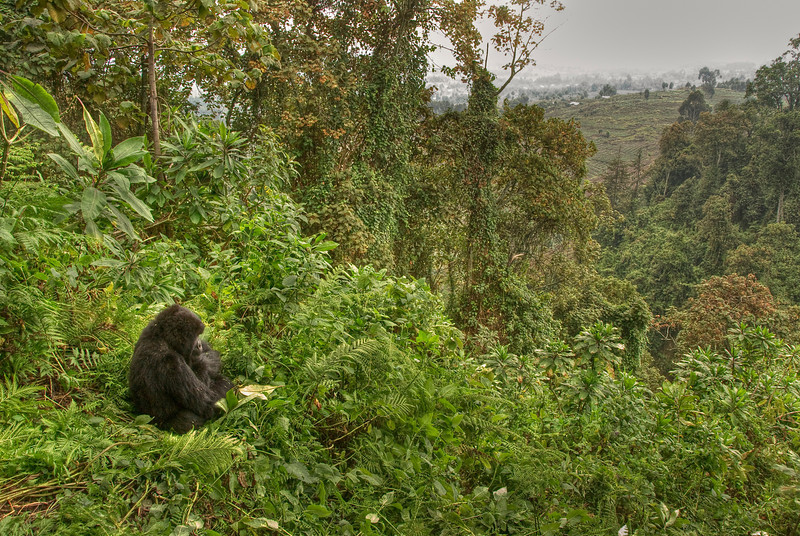 Gorilla mulls human encroachment on the Parc National des Volcans, Rwanda - HDR.