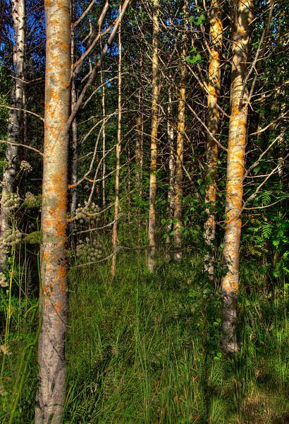 HDR: Birch forest, Finland.