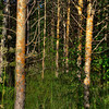 HDR: Birch forest, Finland.
