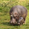 HDR: Hippo Family, Kazinga Channel, Uganda