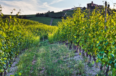 Taken whilst standing in the middle of the Cannubi vineyards, facing south toward the village of Barolo, at sunset. Veraison is about 1 month away at this point.