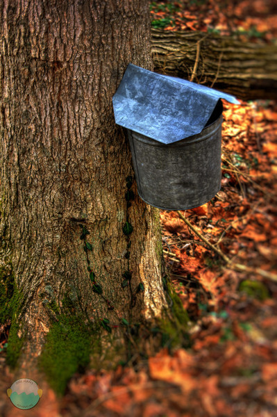 Syrup Bucket<br /> A bucket and collection system used for collecting Maple Sap to make maple syrup.  Yum yum.