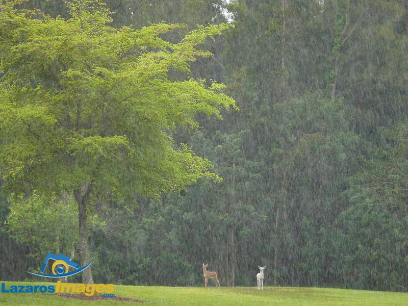 Fawns in Rain