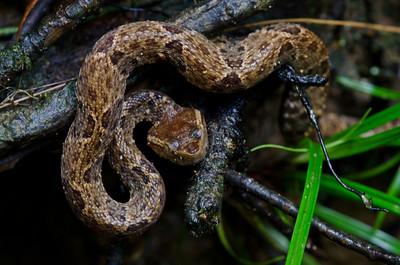 Squamata Viperidae