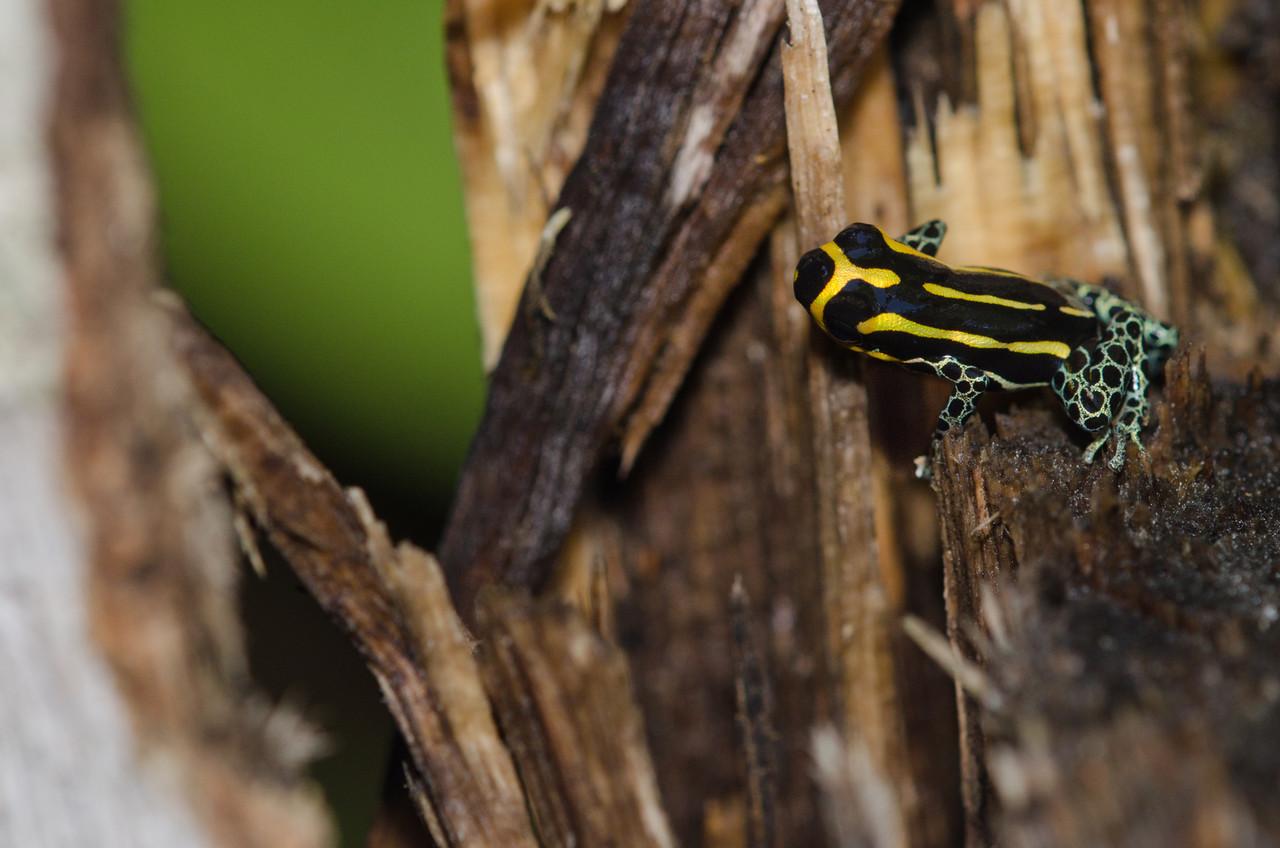 Anura Dendrobatidae