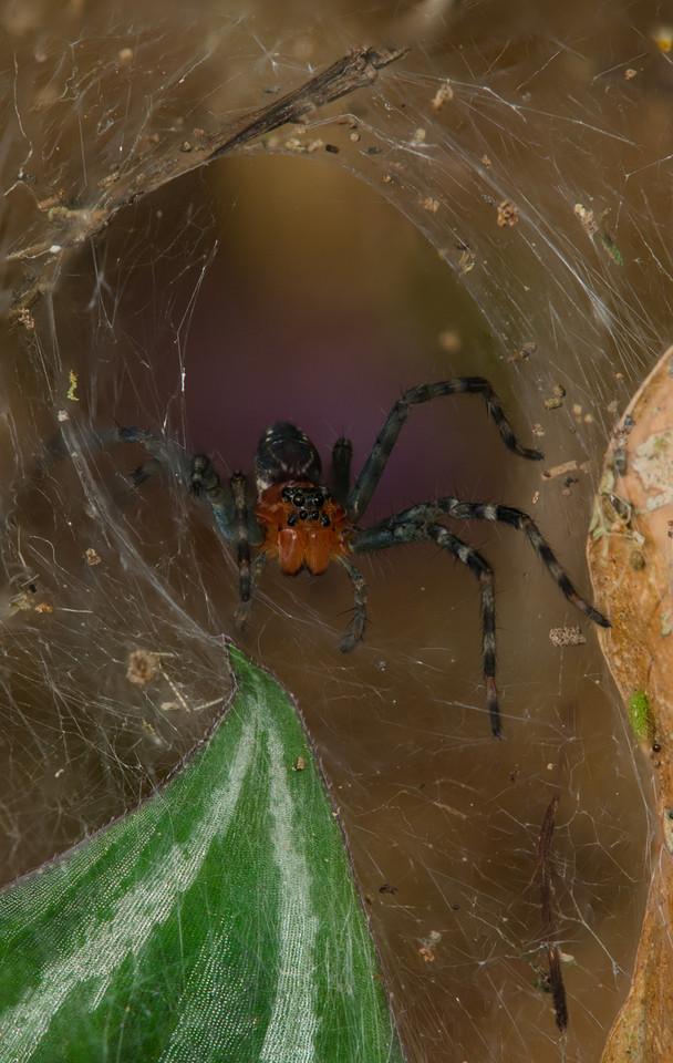 Araneae Araneomorphae