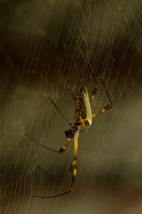 Araneae nephilidae