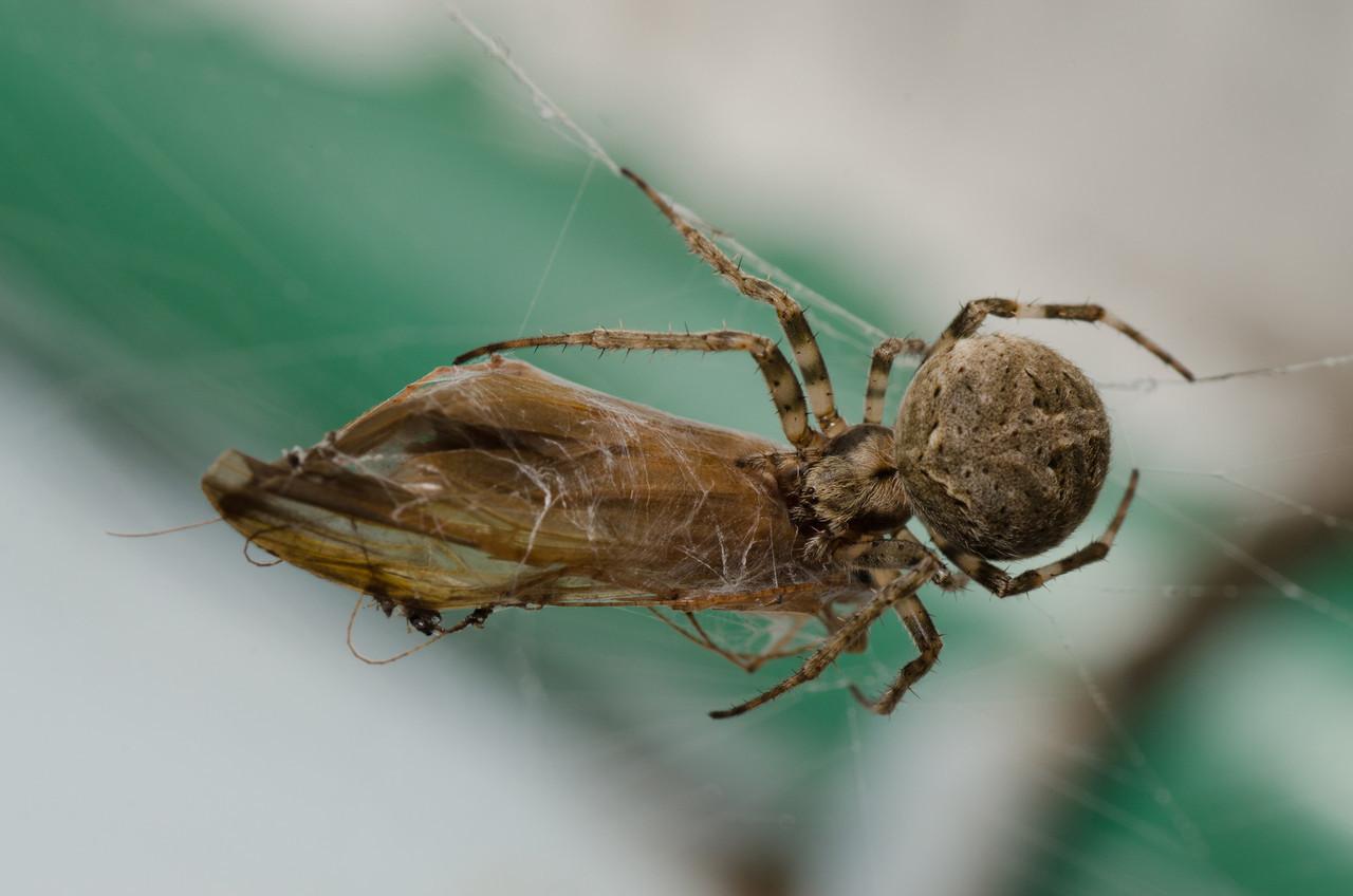Araneae Araneidae