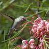 HUMMINGBIRDS 16