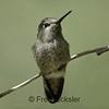 HUMMINGBIRDS 15