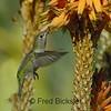 HUMMINGBIRDS 14