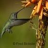 HUMMINGBIRDS 10