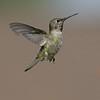 HUMMINGBIRDS 07