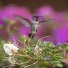 HUMMINGBIRDS 04