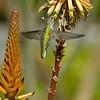 HUMMINGBIRDS 08