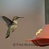 HUMMINGBIRDS 05