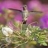 HUMMINGBIRDS 03