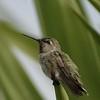 HUMMINGBIRDS 02