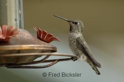 HUMMINGBIRDS 01
