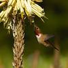 HUMMINGBIRDS 06
