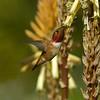 HUMMINGBIRDS 09