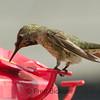 HUMMINGBIRDS 18