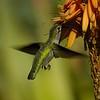 HUMMINGBIRDS 11